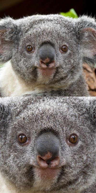 Funny Koala Memes